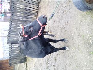 Vacă porci iapă - imagine 3
