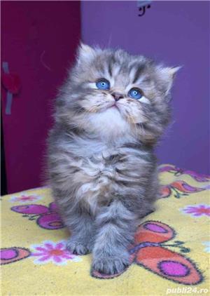 Pui pisica persana  - imagine 1