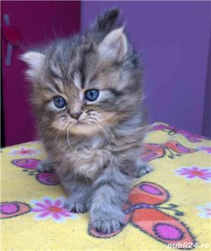Pui pisica persana  - imagine 2
