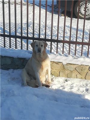 Labrador pt. monta - imagine 3