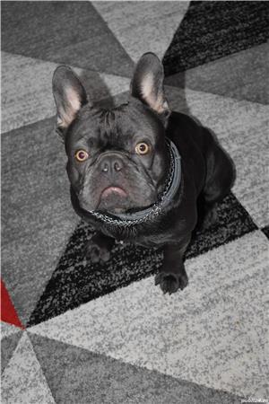 Nu este de vanzare!!!!este ptr Monta Bulldog francez Blue - imagine 4