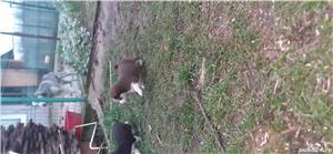 Huskey siberian - imagine 2