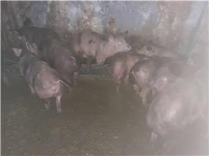 Vand porci petrean  - imagine 2