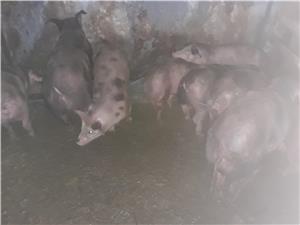 Vand porci petrean  - imagine 3