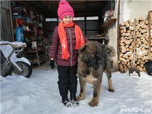 Femelă ciobanesc caucazian cu pedigree  - imagine 6