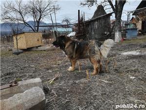 Femelă ciobanesc caucazian cu pedigree  - imagine 9