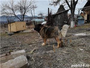 Femelă ciobanesc caucazian cu pedigree  - imagine 5