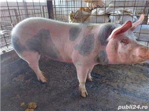 Porci de vanzare pentru perioada Pastelui! (Pietrain-Marele Alb) - imagine 7