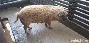 Porc mangalita - imagine 1