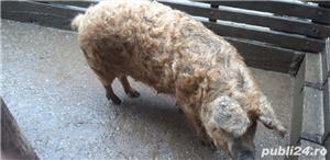 Porc mangalita - imagine 2