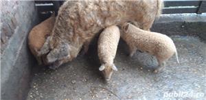 Porc mangalita - imagine 4