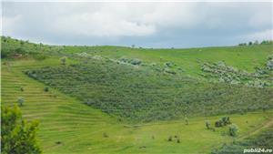Vând/arendez plantație de cătină certificată ecologic - imagine 3