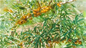 Vând/arendez plantație de cătină certificată ecologic - imagine 5