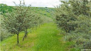 Vând/arendez plantație de cătină certificată ecologic - imagine 4