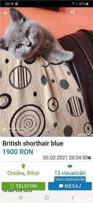 British shorthair  cu pașaport si chip - imagine 2