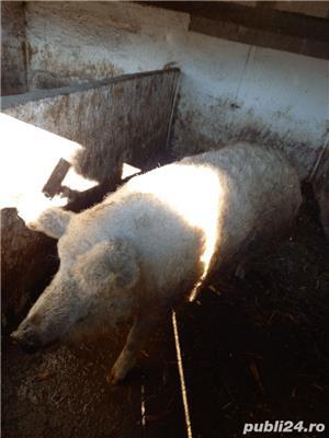 Vând porc Mangalița - imagine 3