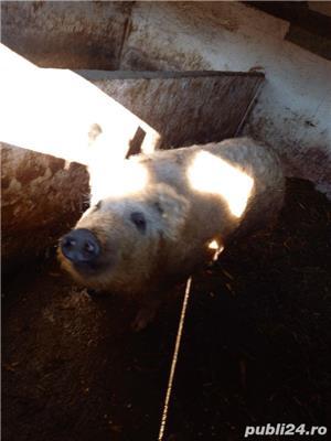 Vând porc Mangalița - imagine 4