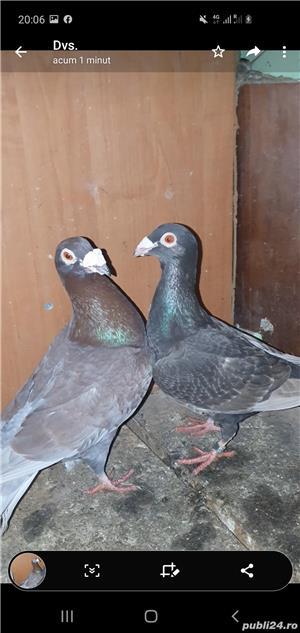 Porumbei de vânzare  stil vechi, duduros si italieni.  - imagine 3
