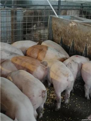 Purcei și porci de carne  - imagine 2