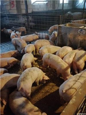 Purcei și porci de carne  - imagine 3