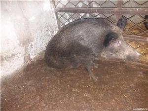 De vanzare porc mistret.urgent - imagine 3