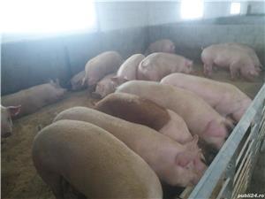 Porci purcei rasa de carne  - imagine 2