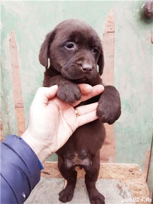 Labrador ciocolatiu pedigree - imagine 3
