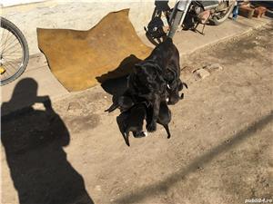 Catei cane corso  - imagine 9