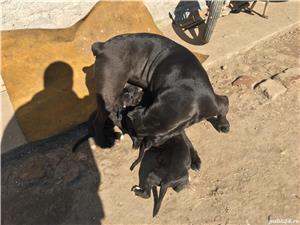 Catei cane corso  - imagine 10