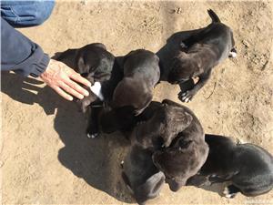 Catei cane corso  - imagine 8