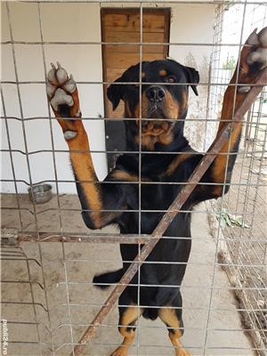 Rottweiler de montă  - imagine 3