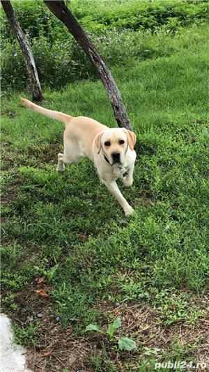 Labrador mascul pentru monta - imagine 1