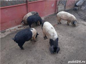 vând porci - imagine 3