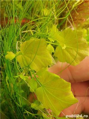 plante naturale acvariu - imagine 4