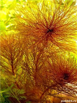 plante naturale acvariu - imagine 8
