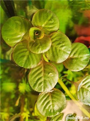 plante naturale acvariu - imagine 3