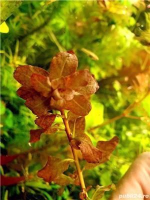 plante naturale acvariu - imagine 5