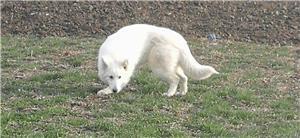 Ciobănesc elvețian ( lup alb) femela 2 ani și jumătate  - imagine 2