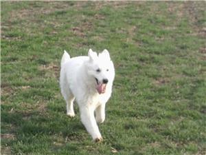 Ciobănesc elvețian ( lup alb) femela 2 ani și jumătate  - imagine 5