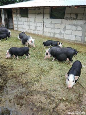 Porci și purcei de vanzare - imagine 9