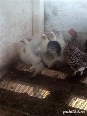 Cocosi și găini pitice - imagine 1