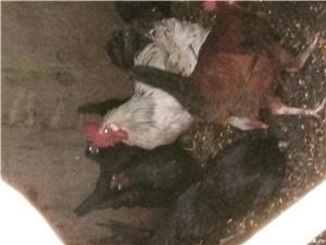 Cocosi și găini pitice - imagine 3