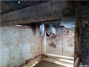 Cocosi și găini pitice - imagine 4