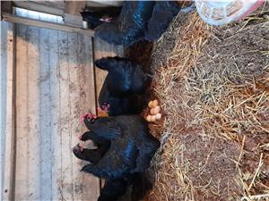 Oua incubat diferite rase : australorp , araucana, bress - imagine 8
