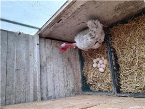 Oua incubat diferite rase : australorp , araucana, bress - imagine 5
