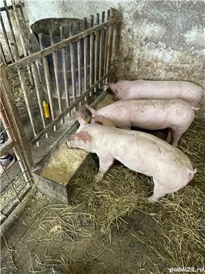 Porci și purcei - imagine 2