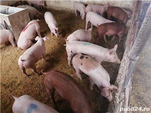 Porci de carne de vanzare - imagine 2