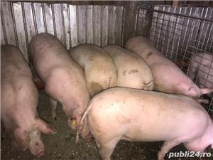 Porci pt sacrificat și purcele pt reproducție 9lei/kg - imagine 5