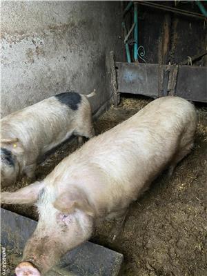 Vând porci - imagine 6