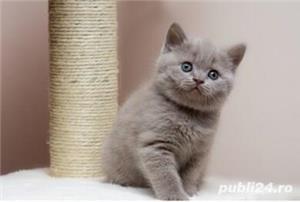 Fetiță British Shorthair Lilac disponibilă  - imagine 3
